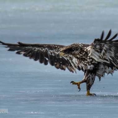 An Eagle walking in the slush looking like he would like to kill something