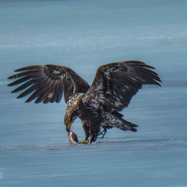 A Bald Eagle eating a fish at Englishman Lake.