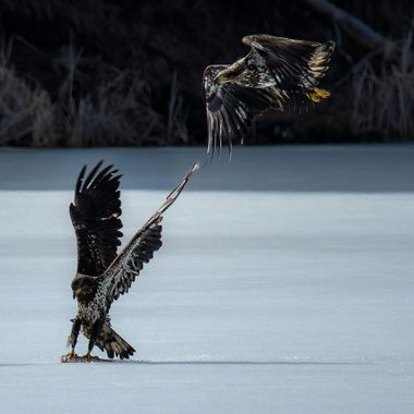Four Bald Eagles looking for food at Englishman Lake B C