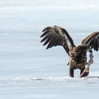 An Eagle has won the battle temporarily over the fish
