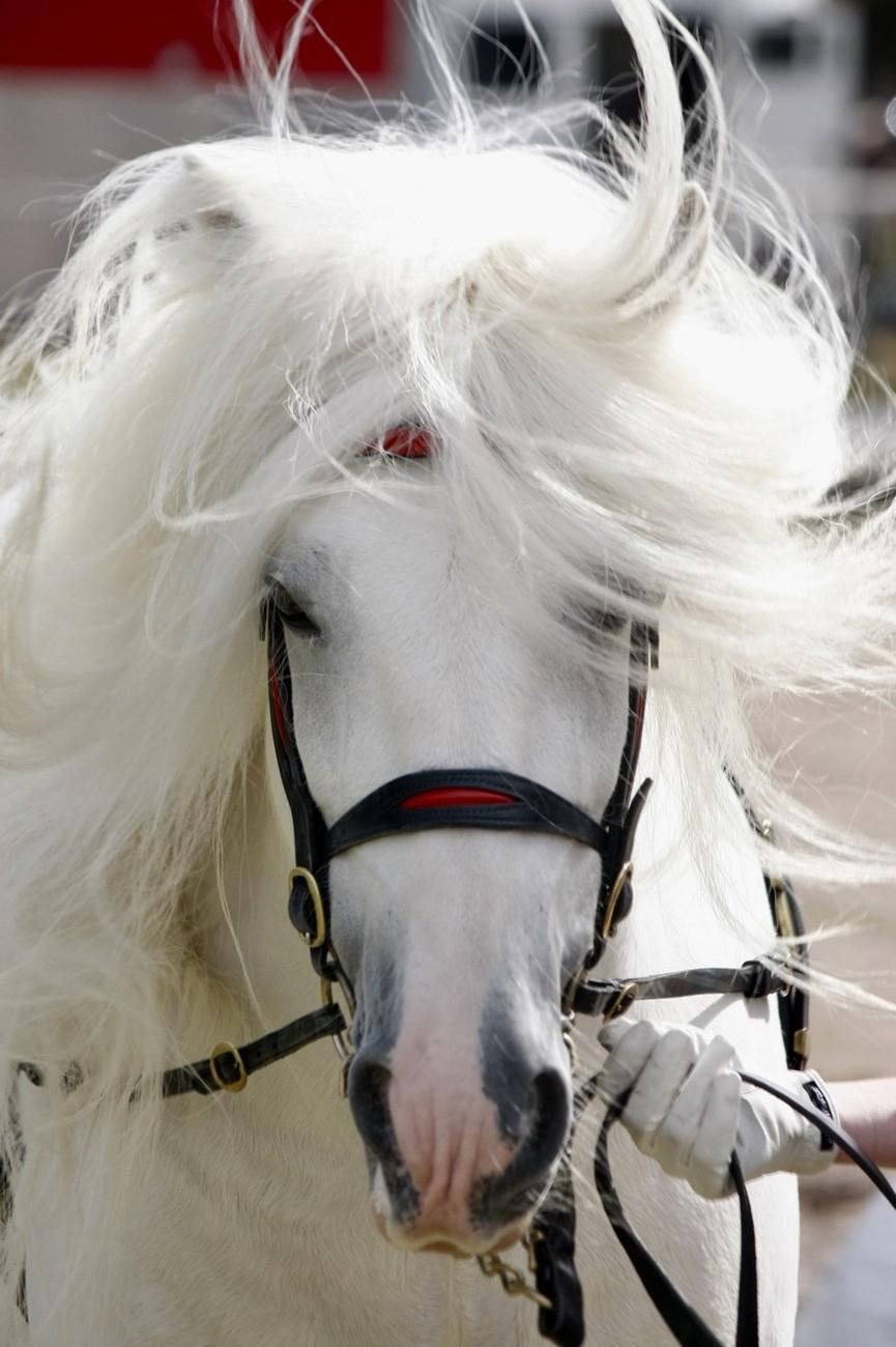 At the 2018 Australian National Heavy Horse Festival.