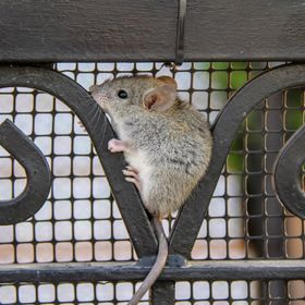 This mouse was running away from the local feral cats and found a hiding spot in the grills of a gate.  He sat there for a few hours and when the...