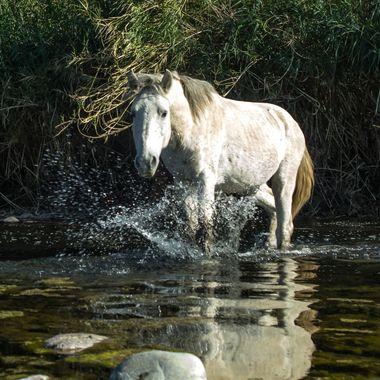 Wild horse at the Salt River in AZ