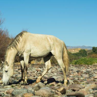 Wild horse at the Salt river near Saguaro Lake in AZ