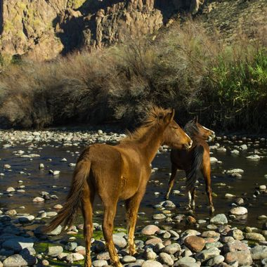 Wild horse's at the Salt river near Saguaro Lake in AZ. These two females were whinnying to another horse across the river and up the hill somewhere.