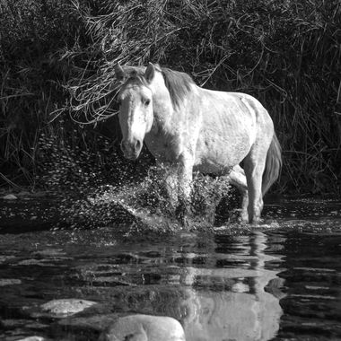 Wild horse at the Salt river near Saguaro Lake in AZ