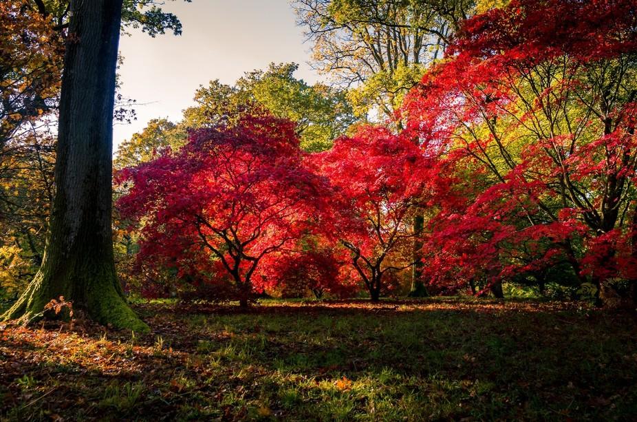 Red autumn colours at westonbirt arboretum in Gloucestershire
