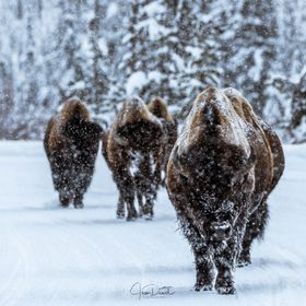 A Bison herd on the move during a blizzard in Yellowstone area