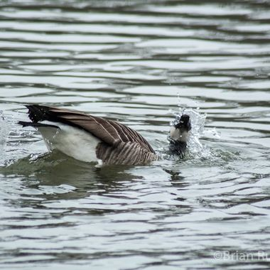 Canada goose washing and preening