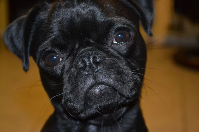 This is Ebony, She is a Black Pug, with a character. She is playful and always happy when she is not happy she even cries. When I go visit she starts crying for happiness to see me and she is one to be missed.