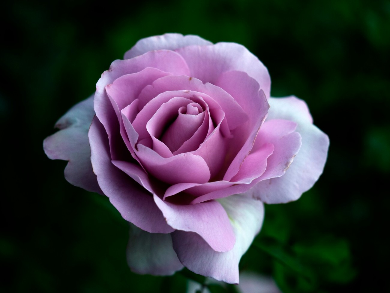 just like the colour and the shape of this rose, this is another one that makes great black and white versions
