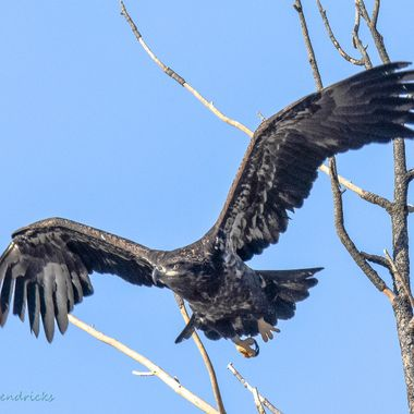 A Juvenile bald eagle takes off from his perch near the dump.