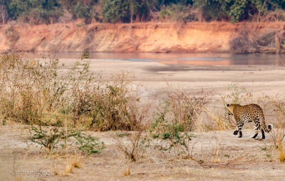 Leopard heading toward Luangwa River in Zambia for a drink....she quickly disappeared over the ri...