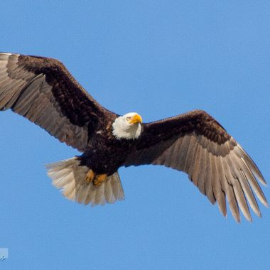 An eagle is passing by overhead.