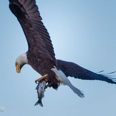 An eagle takes a fish from Nicola Lake