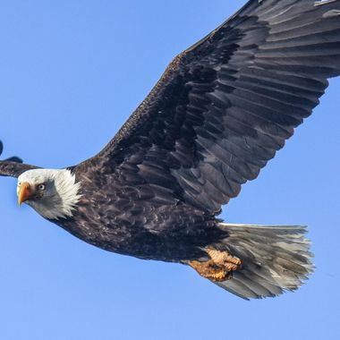 An eagle does a fly by as he searches for something to eat.