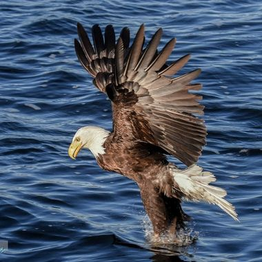 An Eagle grabs a fish from Nicola Lake B C