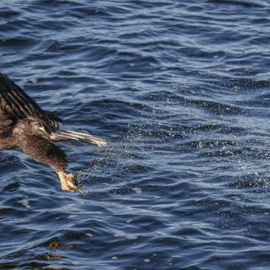 An eagle snatches up a fish out of the lake.