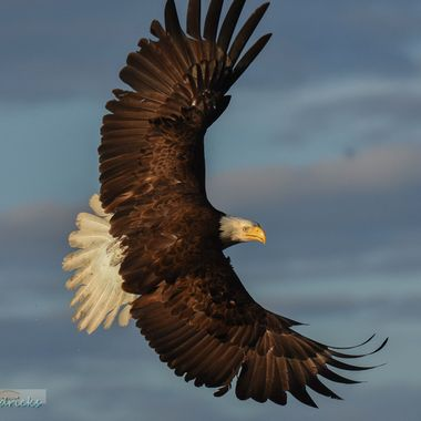 An Eagle takes a sharp turn to line up on his target.