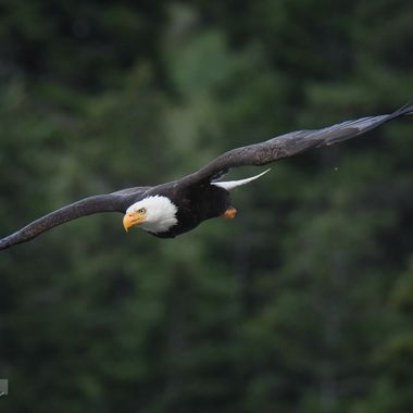 An eagle targeting a fish in Nicola Lake