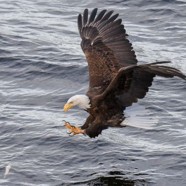 An Eagle targets a fish in Nicola Lake