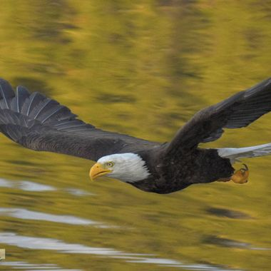 An eagle has a fish targeted in Nicola Lake