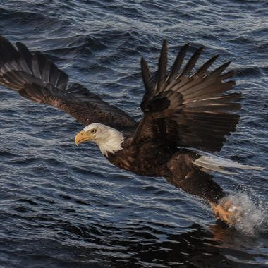A bald eagle grabs a fish out of Nicola Lake B C. They seldom miss.