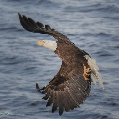 A Bald Eagle takes a fish from Nicola Lake