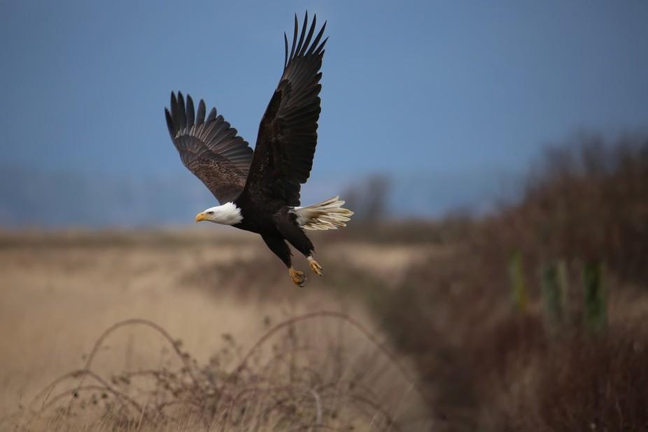 Tagged, Wild Bald Eagle, Sammish Flats, Washington State