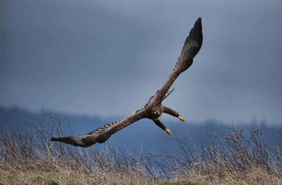 Young Bald Eagle before head and tail turn white, Sammish Flats, Washington State