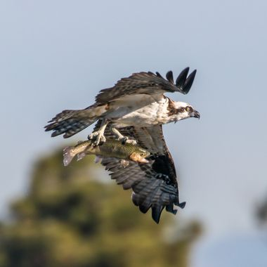 Osprey with trout -1056