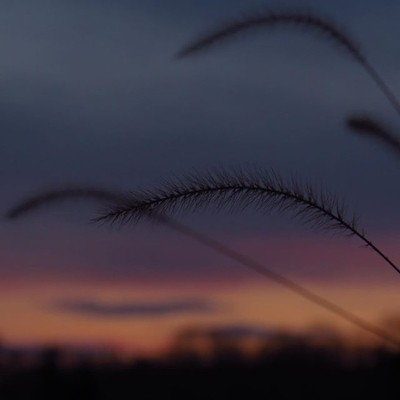 Foxtails with a layered color sunset. With the days lengthening, sunsets are fitting into my schedule better.  #trailsend #sunset #foxtails #wander #fields #outthebackdoor #backyardnature #canon_photos #canonwhatelse #canonglobal #best_skyview #best_sunse