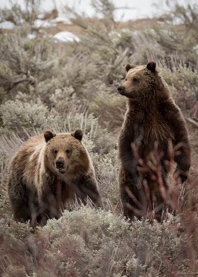 Two year old grizzlies cubs