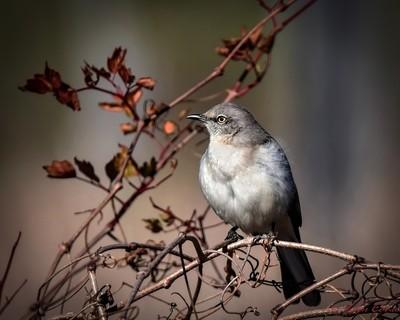 Mockingbird on a vine