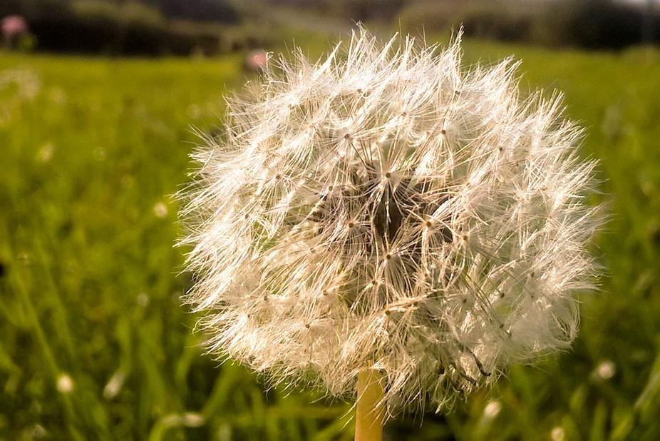 Dandelion on the summer meadow