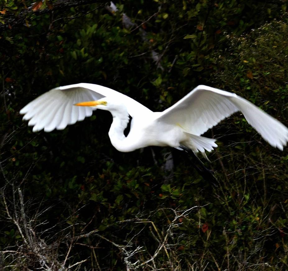 flying Heron in dark