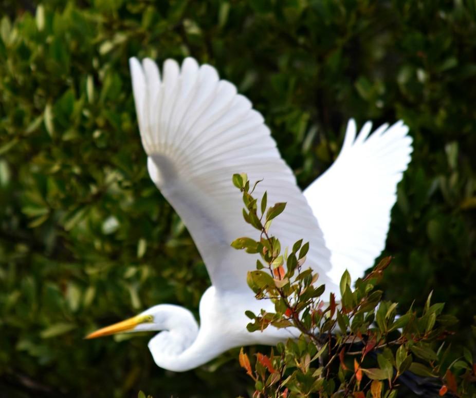white heron wings open