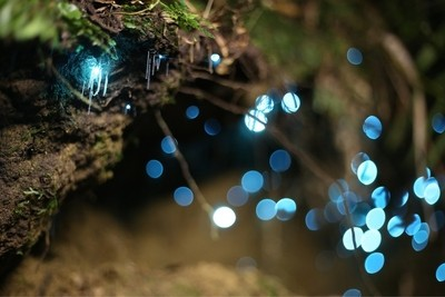 One of lifes marvels has got to be the glow worm riddled forests of New Zealand. I managed to be able to capture them in the dark of night on a recent walk with family and friends.