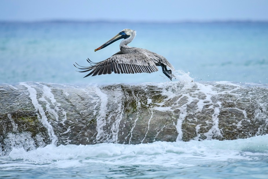 A Pelican taking off in flight. I sat and watched this Pelican for about 10 mins waiting for it t...