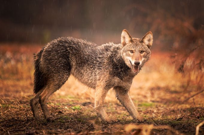 NC Coyote  by ericamo10 - The Animal Eye Photo Contest vol1