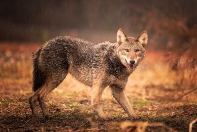 NC Coyote