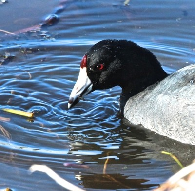 Close up of American Coot