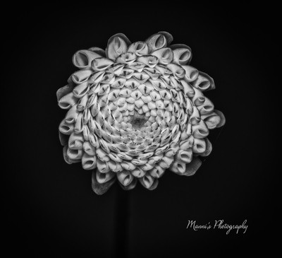A Dahalias Flower_8317