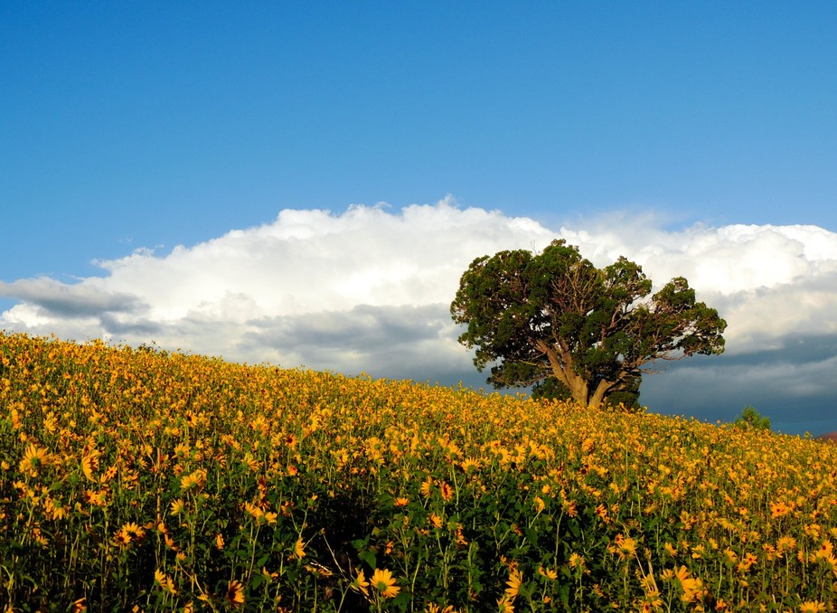 Outside of Sunset Crater National Monument is a hillside that every late summer becomes covered i...