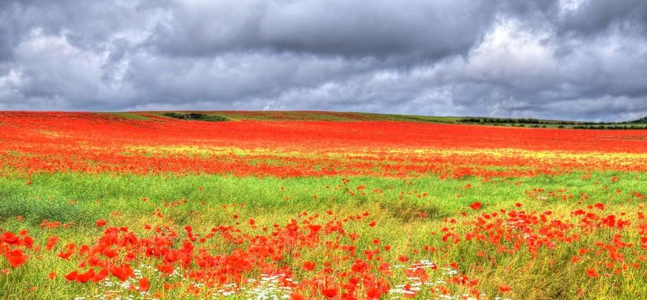 poppy field near sunderland