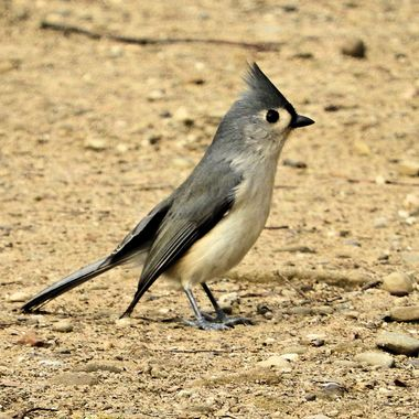 Firestone titmouse