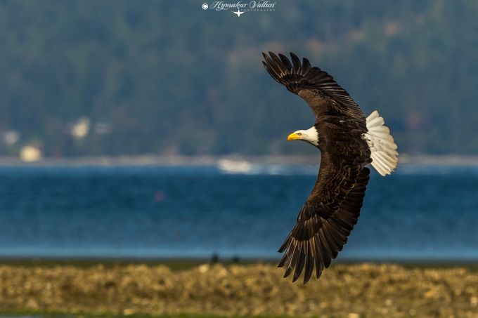Bald Eagle in flight by Hymakar - Image Of The Month Photo Contest Vol 29
