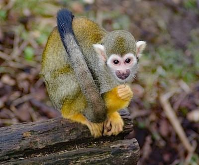 Common Squirrel Monkey Edinburgh Zoo UK