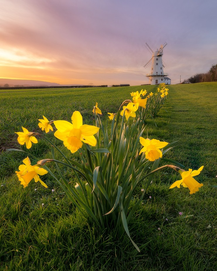 Llancayo Daffs by templopolis - Windmills Photo Contest