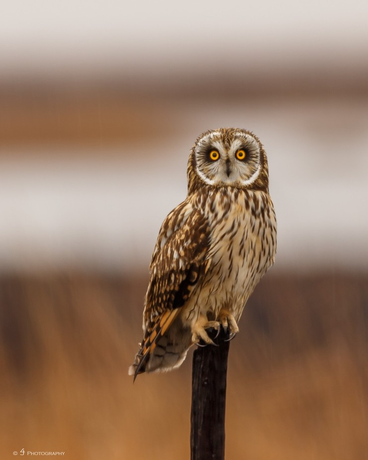 Short Eared Owl by WilyGuy - Beautiful Owls Photo Contest